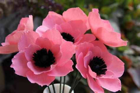 popular flowers 40 adorable anemone flower images beautiful anemone