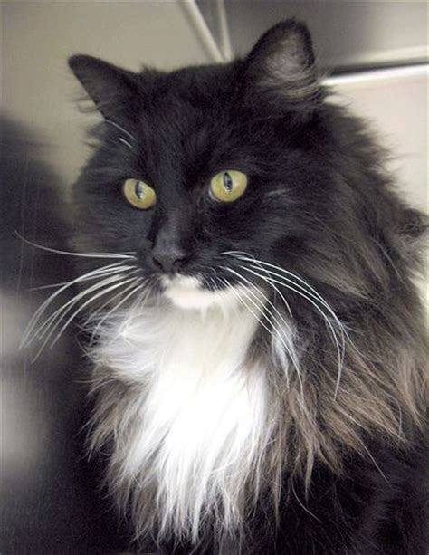 17 Best images about Maine Coon tuxedo cat on Pinterest