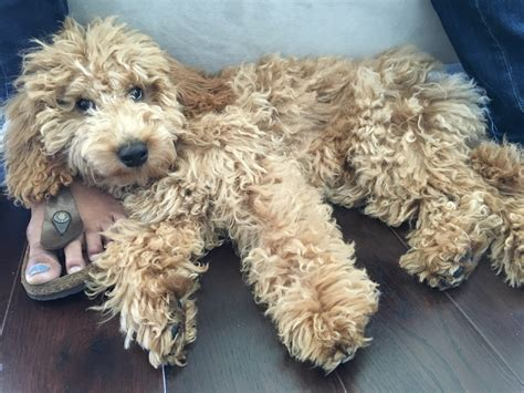 mini goldendoodles health problems goldendoodle problems images