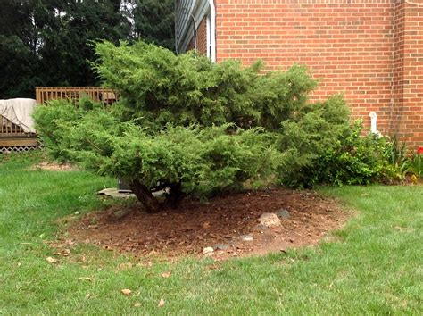 shrub trimming and removal in maryland appalachian tree service