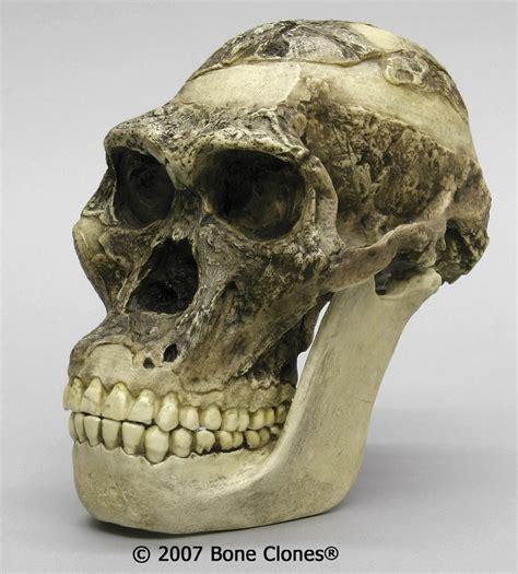 africanus el hijo del historika australopithecus africanus la eterna controversia