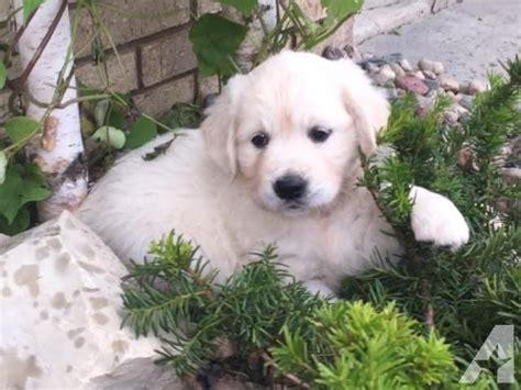 puppies for sale kenosha wi akc golden retriever puppies for sale in kenosha wisconsin