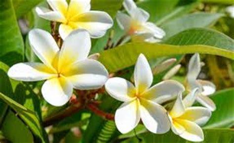 Jual Berbagai Jenis Teh Bunga Melati Flower Tea kamboja jepang unik bunga lebat tanaman bunga hias