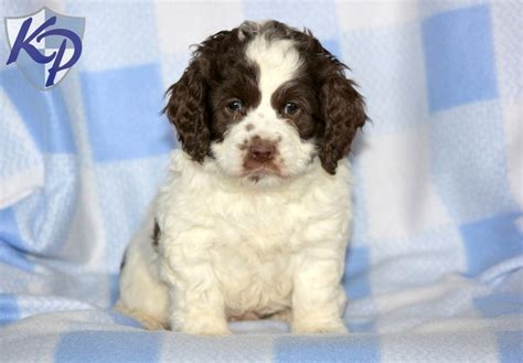 cockapoo puppies for sale in pa 62 best images about cockapoo puppies on hunters shelters and lil baby