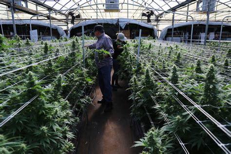 medical marijuana  legal  california