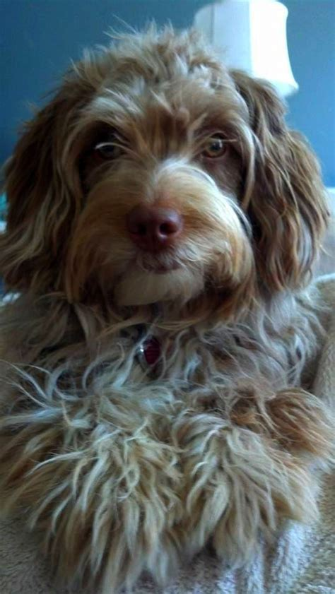 mini labradoodles wa 83 best aussiedoodle images on australian