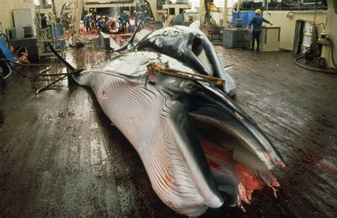 Whaling Is Still Big In Japan by Caign Whale 187 Archive 187 Eu May Back New Iwc