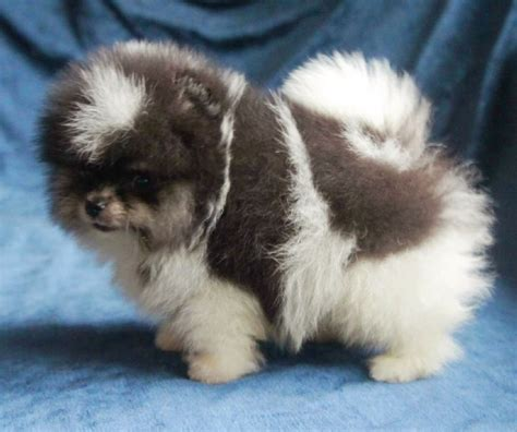 pomeranian teacup puppies for sale uk prestige pomeranians pet and animal service in rossendale uk