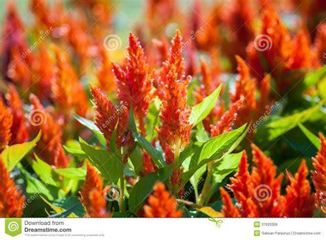 fiori creste di gallo fiori della cresta di gallo immagine stock libera da