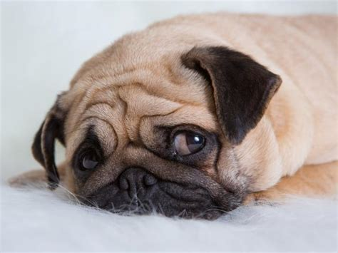 when can puppies get their is your depressed depression in dogs