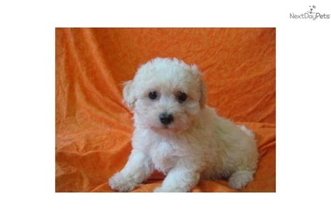 bichon frise puppies for sale ohio bichon frise puppy for sale near mansfield ohio c63457ab a891