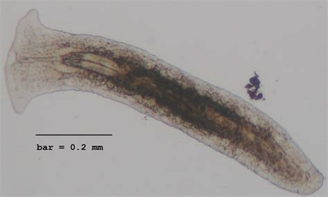 flatworm in pond flatworm