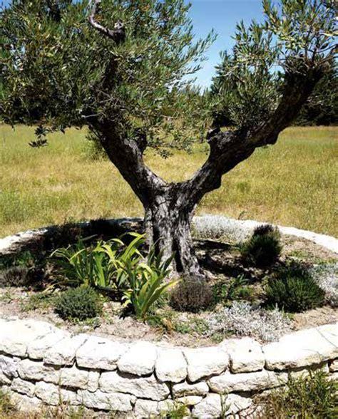 ulivi in giardino ulivi secolari da giardino idee per la casa
