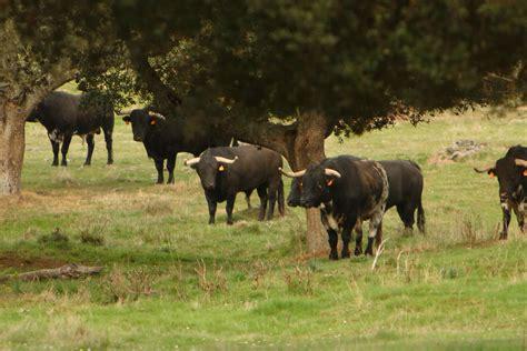 imagenes de toros wallpaper la alberca tierra de toros