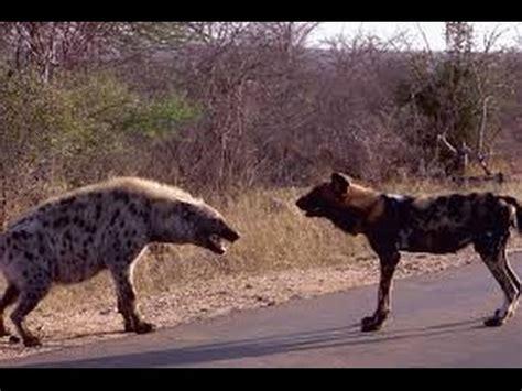 hyena vs vs hyenas dogs attacks hyena 2015