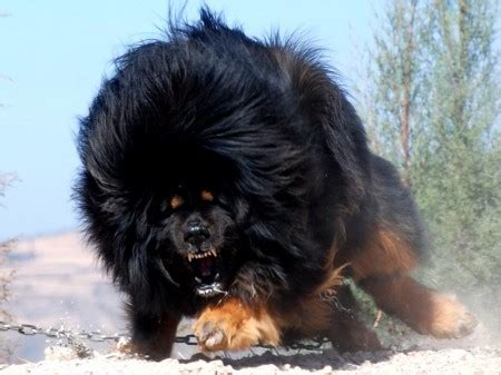 large haired dogs large breeds hair pet photos gallery 4zl2a7ybwl