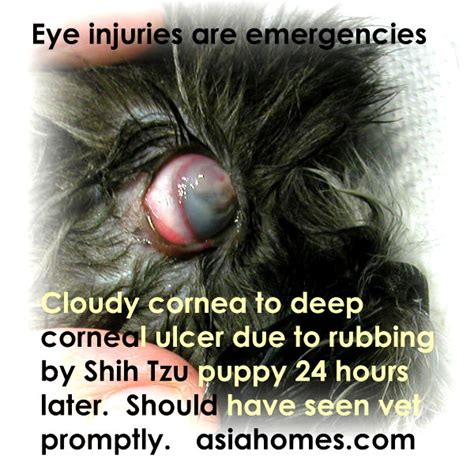 shih tzu vomiting blood 031119asingapore real estate condo advertising agency classified advert