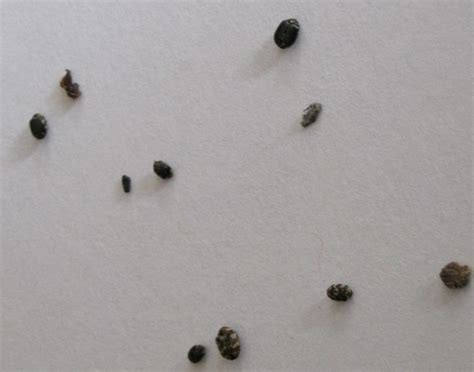 Pantry Bugs Black pantry beetles grain weevils spider beetles meal worms