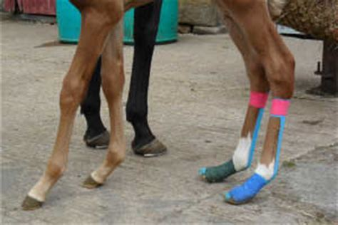 kinesiology taping for horses the complete guide to taping for equine health fitness and performance books four recent scenarios where has used kinesio taping to