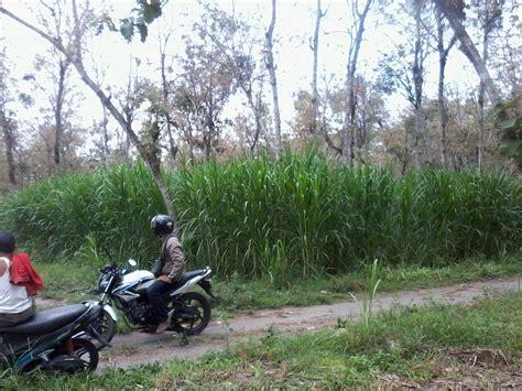 Bibit Rumput Gajah Yang Baik jual bibit rumput king grass jenis taiwan dan bibit rumput