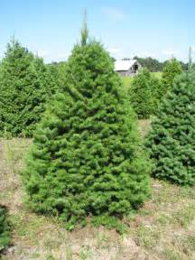 Charming Douglas Fir Christmas Tree #1: Wholesale_douglas_fir.JPG