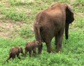 To feed both baby elephants and increase their chance of survival