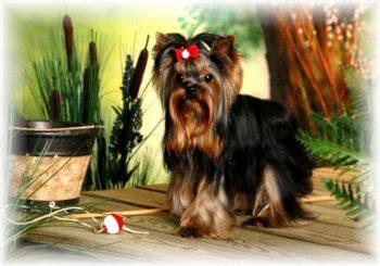 dreammaker yorkies terrier breeders directory