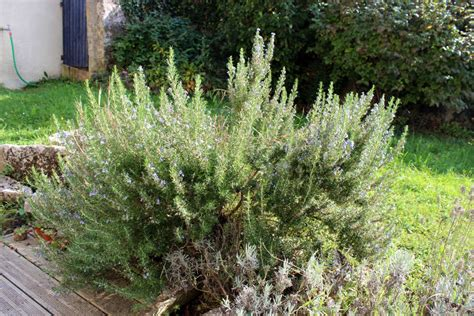 Merveilleux Que Planter Dans Le Jardin #4: romarin.jpg