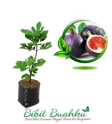 Bibit Tin Purple bibit tanaman buah tin purple bibit buahku