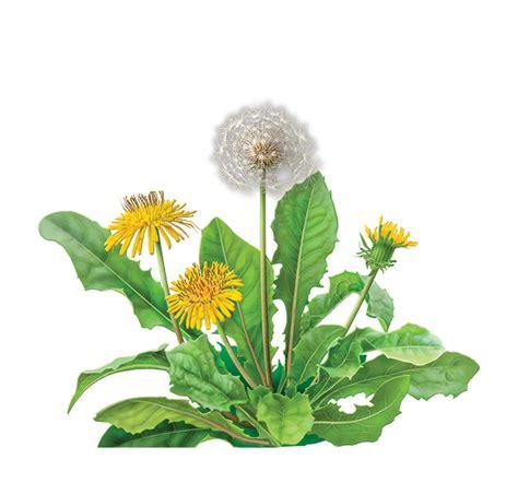 Buy Coffee Cups by Dandelion Root Herbal Supplement Herbal Teas