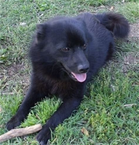pomeranian schipperke mix schip a pom breed information and pictures