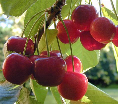 cherry tree growing the menu cerises bigarreaux and griottes the cherries of cherries on