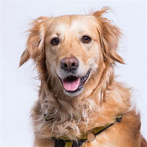dogs honey sponsor a honey golden retriever dogs trust