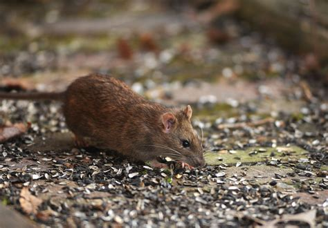 rats may be causing depressive symptoms in some baltimore