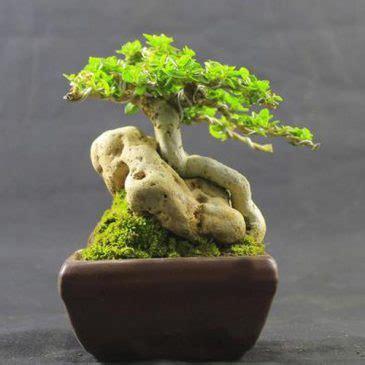tanaman bonsai sancang pusaka dunia