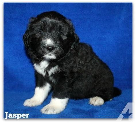 puppies for sale in bowling green ky pyredoodle puppies for sale in bowling green kentucky classified americanlisted