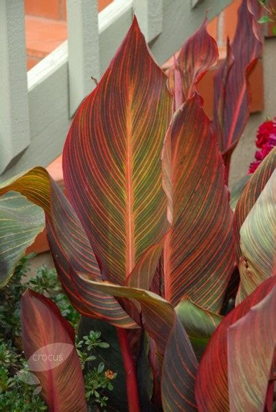 buy canna syn tropicanna canna phasion  delivery