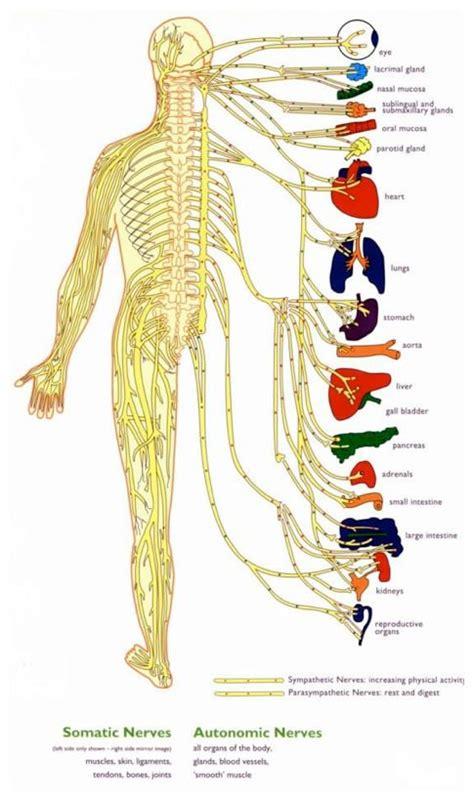 central nervous system diagram central nervous system diagram for artes