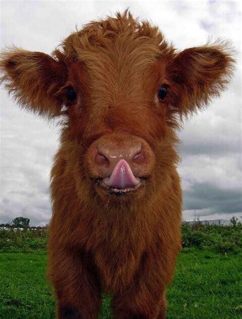 cow lick pic cow lick humor pinterest