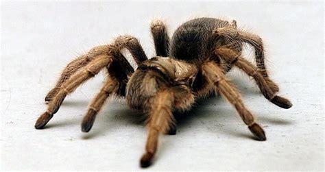 tarantell edderkopp p 229 r 248 mmen tk