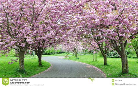 outdoor tree cherry blossom cherry blossom path royalty free stock photos image 16827428