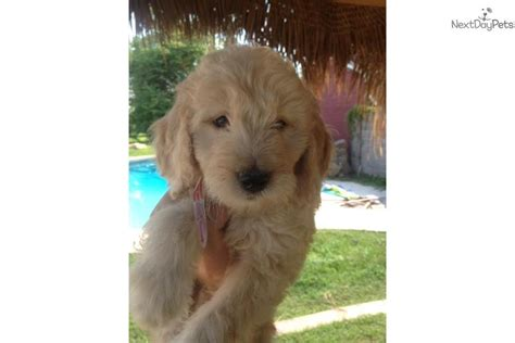 goldendoodle puppy for sale los angeles f1 goldendoodle puppy