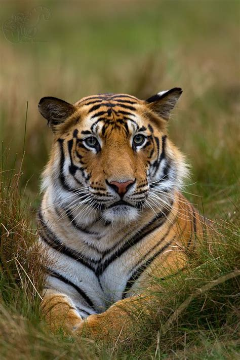 Inidia Cat 44 44 best bengal tiger s den the great sundarbans images