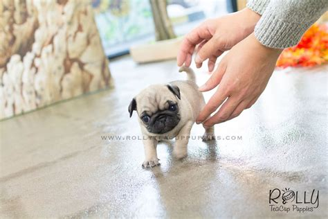 teacup pug puppy lola pug f rolly teacup puppies