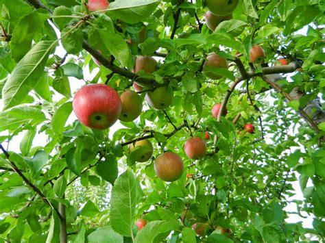 apple tree kashmir apple tree wallpaper desktop wallpaper backgrounds