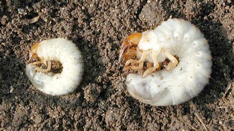 white grubs omaha organics lawn maintenance fertilizer