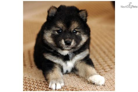 black shiba inu puppies shiba inu puppy for sale near joplin missouri 74d357ee 11c1