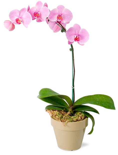 Caring For Flowers In A Vase Image Gallery Orchid Flower Care