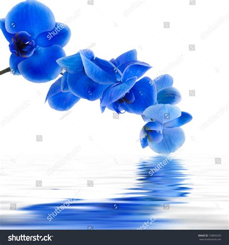 orchid blue water reflection flowers beautiful orchid blue orchid background reflection water stock photo