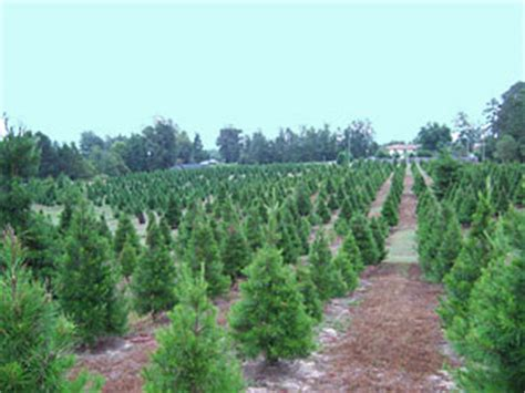 choose your christmas tree motley s tree farm little